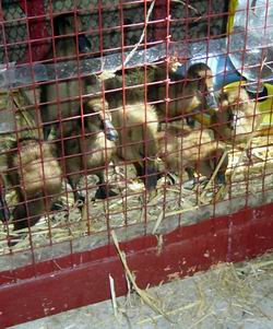 Cornubia Ducklings
